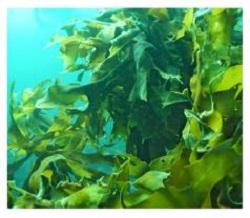 「オレンジシャンプーオーガニック」海藻エキス